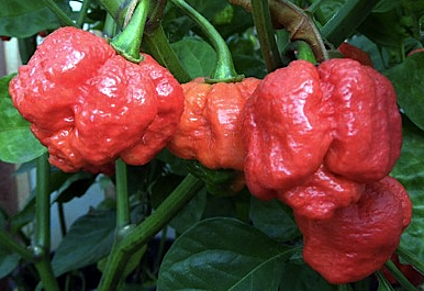 Trinidad Moruga Scorpion chile peppers