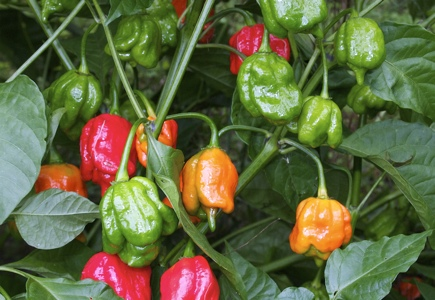 Trinidad Scorpion chile peppers