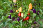 Chinese MultiColor Chile       Pepper Seeds