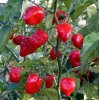 Buy Hot Peppe Seeds